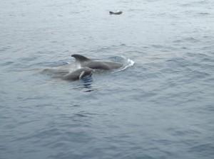 Ballenas en Tenerife